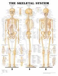 Anatomical Chart Company 1587790629
